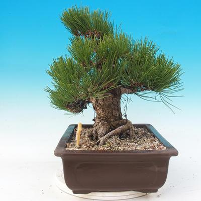 Vonkajšie bonsai - Pinus thunbergii - Borovica thunbergova - 2