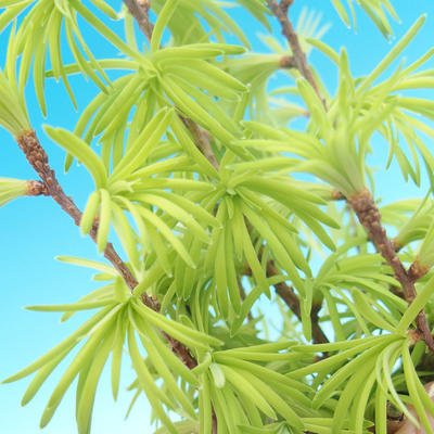 Vonkajšie bonsai - Pseudolarix amabilis - Pamodřín - 2
