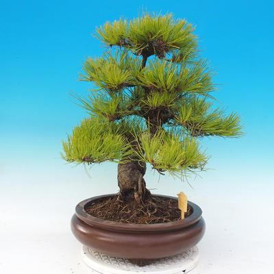 Venkovní bonsai - Pinus densiflora - borovice červená - 2