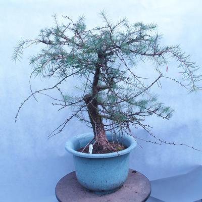 Yamadori - Modřín opadavý - Larix decidua - 2