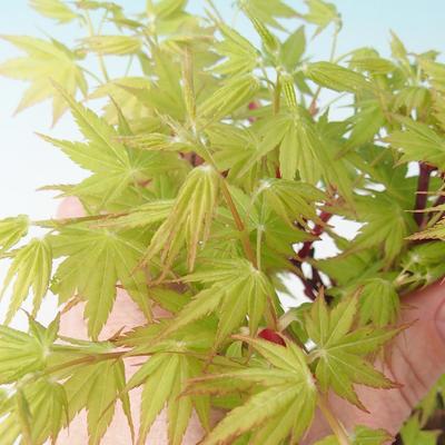 Venkovní bonsai - Acer pal. Sango Kaku - Javor dlanitolistý - 2
