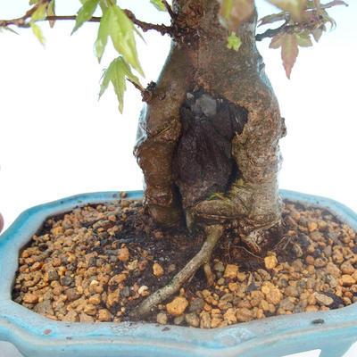 Shohin - Javor-Acer burgerianum na skale - 2
