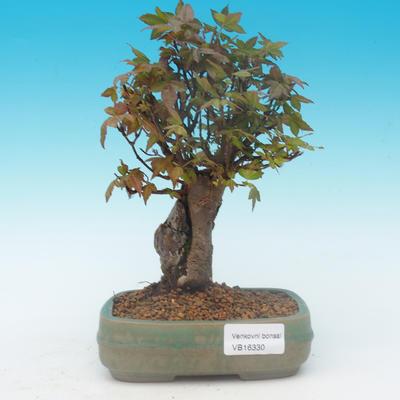 Shohin - Javor-Acer burgerianum na skále - 2