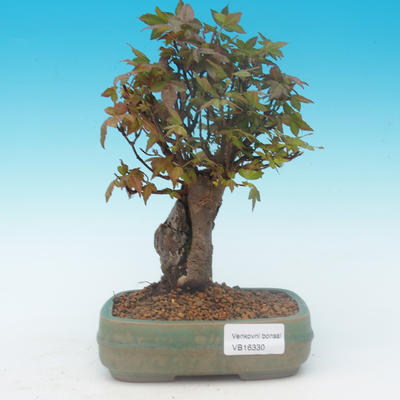 Shohin - Javor-Acer buergerianum na skale - 2