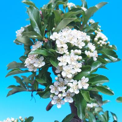 Venkovní bonsai-Pyracanta Teton -Hlohyně - 2