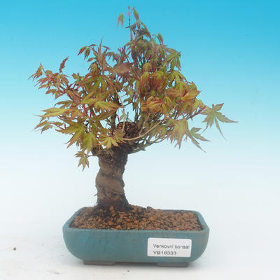 Shohin - Javor-Acer palmatum - 2