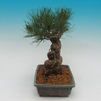 Pinus thunbergii - borovica thunbergova - 2