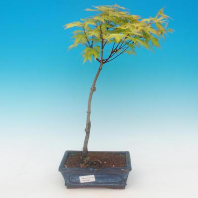 Acer palmatum aureum - Javor dlaňolistý zlatý - 2