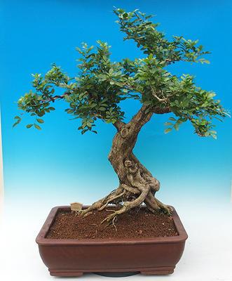 Izbová bonsai- Muraya paniculata - 2