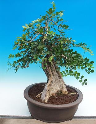 Pokojová bonsai - Muraya paniculata - 2