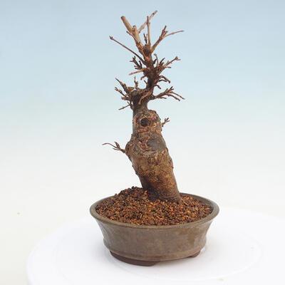 Izbová bonsai- Syzygium - pimentovníka - 2