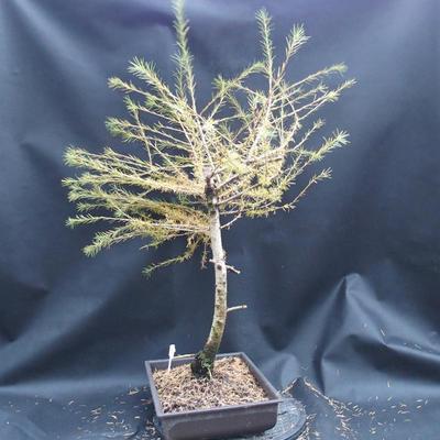 Yamadori - Smrekovec opadavý - Larix decidua - 2