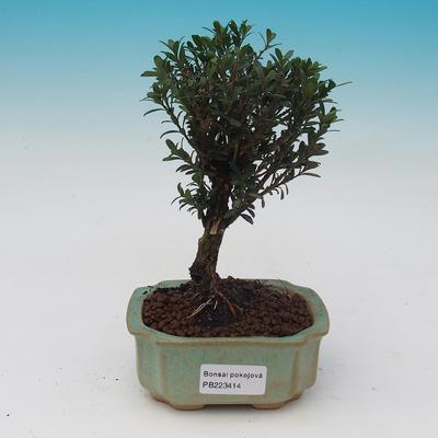 Pokojová bonsai - Buxus harlandii - 2