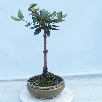 Izbová bonsai - Buxus harlandii - korkový buxus - 2