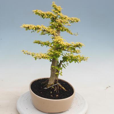 Izbová bonsai - Ligustrum Aurea - Vtáčí zob - 2