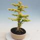 Izbová bonsai - Ligustrum Aurea - Vtáčí zob - 2/6