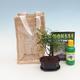 Pokojová bonsai v dárkové tašce - JUTA - 2/2