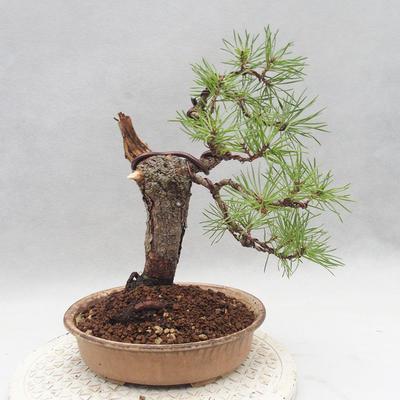 Vonkajšie bonsai - Pinus sylvestris - Borovica lesná - 2
