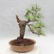 Vonkajšie bonsai - Pinus sylvestris - Borovica lesná - 2/4