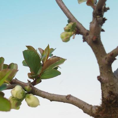 Vonkajšie bonsai - Chaenomeles superba jet trail -Kdoulovec biely - 2