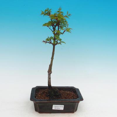 Vonkajší bonsai -Javor malolistá SHISHIGASHIRA - 2