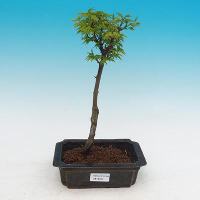 Venkovní bonsai -Javor malolistý SHISHIGASHIRA - 2