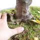 Venkovní bonsai - Javor jasanolistý - Acer negundo - 2/4