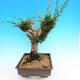 Yamadori Juniperus chinensis - jalovec - 2/5
