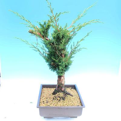 Yamadori Juniperus chinensis - jalovec - 2