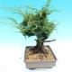 Yamadori Juniperus chinensis - jalovec - 2/6