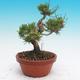 Pinus thunbergii - Borovice thunbergova - 2/4