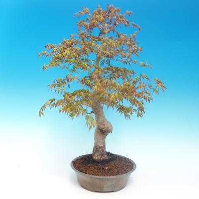 Venkovní bonsai - Acer pamnatum -Javor dlanitolistý - 2