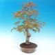 Venkovní bonsai - Acer pamnatum -Javor dlanitolistý - 2/5