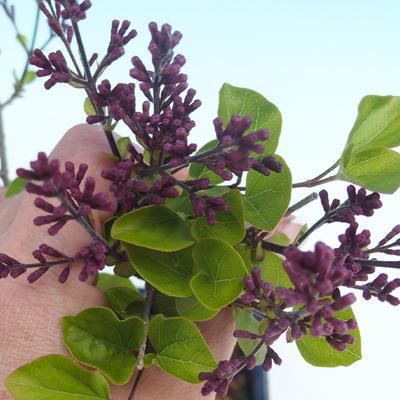 Venkovní bonsai - Syringa velutina josse Šeřík řůžový - 2