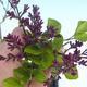 Venkovní bonsai - Syringa velutina josse Šeřík řůžový - 2/2