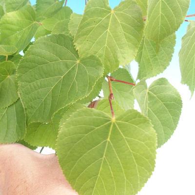 Venkovní bonsai - Lípa srdčitá - 2