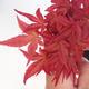 Venkovní bonsai - Javor palmatum DESHOJO - Javor dlanitolistý - 2/3