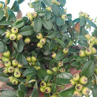 Vonkajšia bonsai-Cotoneaster horizontalis-Skalník - 2