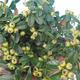 Vonkajšia bonsai-Cotoneaster horizontalis-Skalník - 2/3