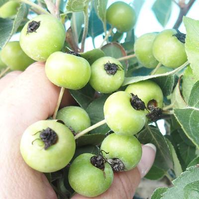 Venkovní bonsai -Malus halliana - Maloplodá jabloň - 2
