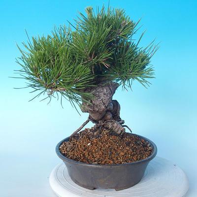 Pinus thunbergii - Borovice thunbergova - 2