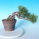 Pinus thunbergii - Borovice thunbergova - 2/5