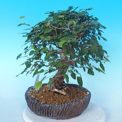 Venkovní bonsai -Carpinus CARPINOIDES - Habr korejský - 2