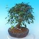 Venkovní bonsai -Carpinus CARPINOIDES - Habr korejský - 2/5