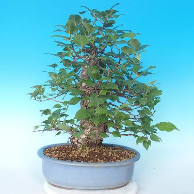 Venkovní bonsai - Japonská hrušeň NASHI - Pyrus pyrifolia - 2