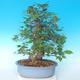 Venkovní bonsai - Japonská hrušeň NASHI - Pyrus pyrifolia - 2/6
