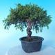 Venkovní bonsai - Juniperus chinensis ITOIGAWA - Jalovec čínský - 2/6