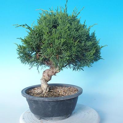 Venkovní bonsai - Juniperus chinensis ITOIGAWA - Jalovec čínský - 2
