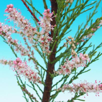Vonkajšie bonsai - Tamaris parviflora Tamariška malolistá - 2
