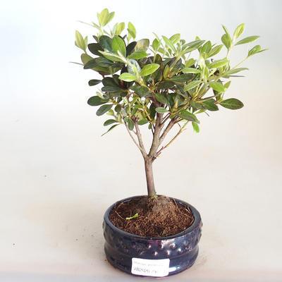 Venkovní bonsai - Rhododendron sp. - Azalka růžová VB2020-794 - 2